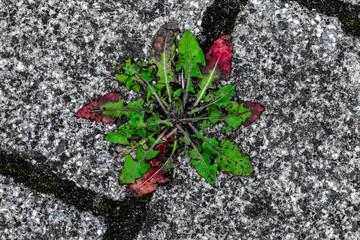 Löwenzahnpflanze in einer Fuge zwischen Steinplatten