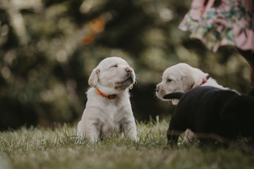 Labrador Baby © Isabel