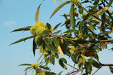 twig of sweet chestnut tree with prickly fruits - 221082255
