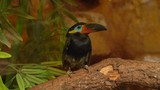 Guiana Toucanet standing on a tree branch. - 221083429