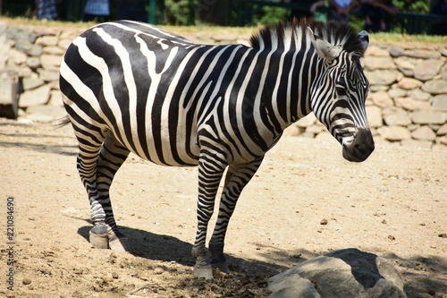 Fototapeta Zebra. Grass, portrait