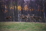 family of deer in the background of the forest at sunset in autumn