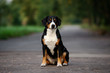 Leinwandbild Motiv entlebucher dog sitting outdoors
