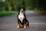 entlebucher dog sitting outdoors