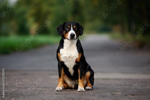 Leinwanddruck Bild entlebucher dog sitting outdoors