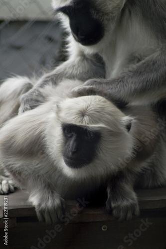 Obraz na płótnie Hulman indischer Langur