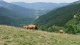 cows grazing in the pastures in the mountains - 221122606