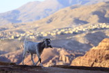 Goat in the mountains near the city of Petra, Wadi Rum desert, Jordan - 221123098