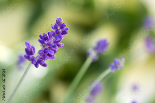 Lavender flowers closeup isolated on green background.