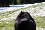 Schnee im August! Schwarzer Noriker Hengst blickt auf schneebedeckte Weide - 221136076
