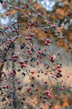 Bright red juicy rosehip berries on a branch without leaves at the time of Indian summer - 221140415