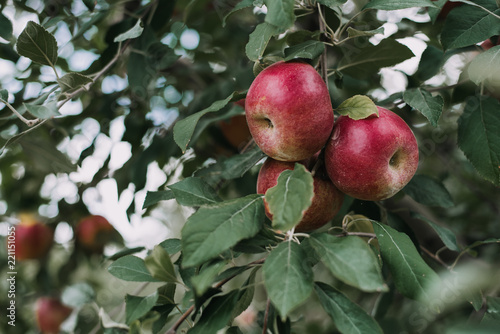 Foto Murales Apples from orchard