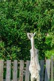 a goat eats leaves on a tree  - 221151463
