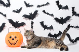 Grey cat with plastic pumpkin and black paper bats on white background - 221158837