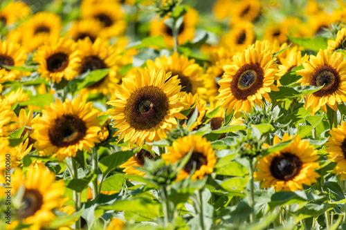 Foto Murales Yellow blooming sunflower