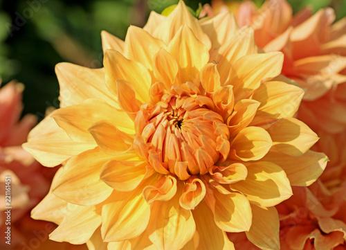Dahlienblüte in gelb und orange