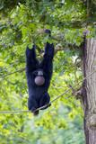 Gibbon Siamang dans les arbres - 221176825