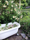 Outdoor bathroom with a wall of roses (Honey Rose). Vintage bathtub in Sweden. - 221189689