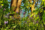 Close up view of woodland floor with ferns and wild english bluebells in springtime sunlight - 221212621