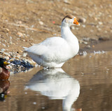 white goose on the water - 221216209