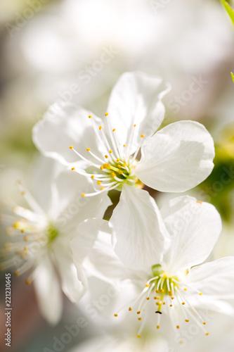 Fototapeta flower cherry macro