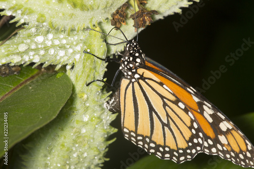 Monarch butterfly on milkweed seed pod in New Hampshire.