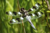 Twelve spotted skimmer dragonfly in a New Hampshire bog. - 221234880