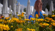 Beautiful background of yellow dandelions and defocused chaise lounges and umbrellas in the background. - 221247857