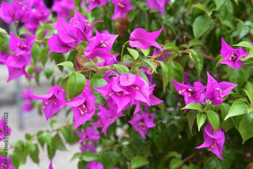 Fototapeta Bougainvillée rose