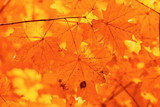 Leaves on a tree in autumn as a background - 221251281