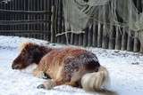 Pony rolling in the snow