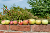 Frische Äpfel - Apfelernte
