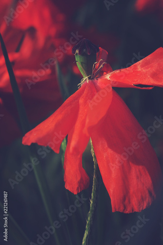 summer red poppy growing in the warm sunshine on a green wild meadow
