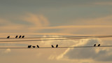 Starlings sitting on electrical wires at dusk