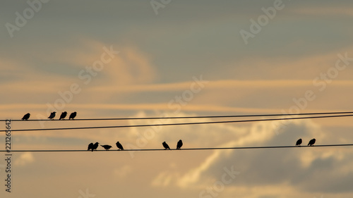 Leinwanddruck Bild Starlings sitting on electrical wires at dusk