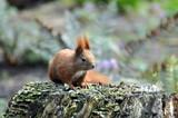 Eichhörnchen im Wald - 221266461