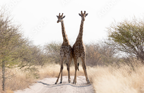 Fototapeta Two giraffes blocking the road, Kalahari