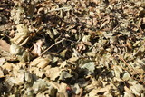Vertrocknete Laubblätter  auf einer Wiese liegend,, Dürre - 221282443