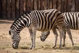 Zebras - 221285694