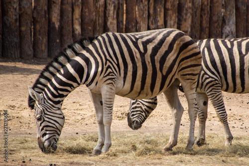 Obraz na płótnie Zebras