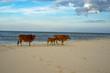 Cows on the sand beach