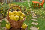 Yellow apples in the wicker basket in the garden - 221290895