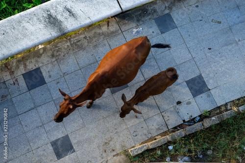 Fototapeta Cows on the sidewalk