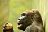 Gorilla - 221292213