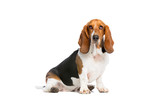 basset hound sitting in front of a white background - 221311410