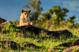 Lioness or Panthera leo rests in savanna close - 221312430