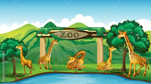 Obraz na płótnie żyrafa w zoo