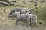 A flock of sheep are grazing in the field - 221320655