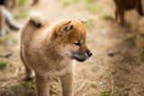 Profile Portrait of serious japanese shiba inu puppy standing outside on the ground - 221321077