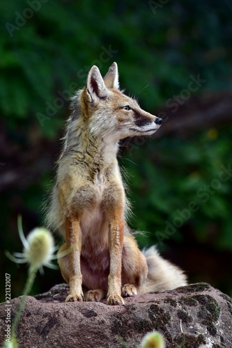 Fototapeta fox